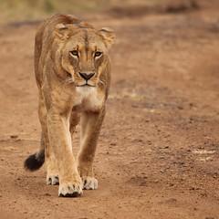 Concentration (Nagarjun) Tags: lioness nairobinationalpark kenya eastafrica wildlife carnivore bigcat bigfive female safari gamedrive