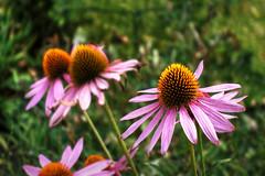 Purpurfarbener Sonnenhut (Frank-2.0) Tags: dsc03025 flower flowers blumen blüte blume blüten arboretum botanischergarten