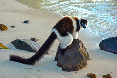 near the sea (husiphoto) Tags: tier animal lemur madagaskar madagascar meer sea strand beach sand stein stone nikon d7100 saintemarie iieauxnattes natur nature