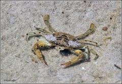 Blue Crab (Callinectes sapidus) (acadia_breeze4130) Tags: maryland assateague assateagueisland national seashore crab bluecrab female sand water marsh nature wildlife naturephotography summer outside eos 100400mm karencarlson