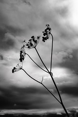 Hogweed (Paul Timlett) Tags: 50mm silhouette monochrome flower barleycroftfarm blackwhite nikond810 hogweed darksky bnw