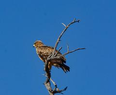 Tawny Eagle (Porschista) Tags: namibia áfrica etosha águila eagle aliga pñjaro bird tawnyeagle aquilarapax