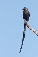 Alcaudón Pío (ik_kil) Tags: corvinellamelanoleuca alcaudónpío magpieshrike urolestesmelanoleucus krugernationalpark southafrica