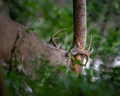 Rubbing (jmishefske) Tags: greenfield d850 nikon rootriver september antler wildlife county milwaukee rack wisconsin 2018 rubbing whitetail parkway rub deer buck