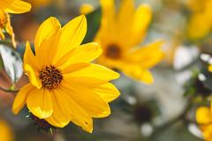 Sunny Hellianthus (oandrews) Tags: 30dayswild canon canon70d canonuk flora flower garden helianthus nature outdoors perennialsunflower petals plant plants yellow