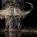 Cape Buffalo (E-IMG-7803)