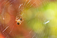 Garden Spider (oandrews) Tags: arachnid araneus araneusdiadematus canon canon70d canonuk crossspider garden gardenspider invertebrate invertebrates minibeast minibeasts nature outdoors spider spiders wildlife