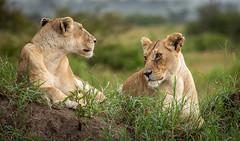 In the rain... (ラルフ - Ralf RKLFoto) Tags: kenia kenya masaimara narok natur safari tiere animals wildlife lioness lion löwe