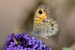 DSC_4885 Mégère (sylvettet) Tags: papillon butterfly 2018 mégère buddleia lasiommatamegera
