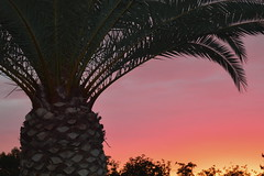 Pink Pineapple Palms (jeffr71) Tags: palm pink colourfusion thinkpink sky sunset tree arizona