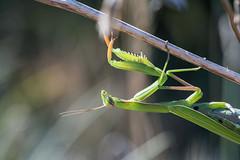 Mantis religiosa ♀ (AquaNat-photo) Tags: religiosa mante insect france fr mantis mantereligieuse mantidae latranchesurmer littoral dune