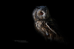 Long-eared Owl - Asio otus (Matthieu Berroneau) Tags: france sony alpha bird oiseau rapace owl night nuit wildlife nature vogel eule animal animaux ff 24x36 full frame a7ii 7ii 7mk2 sonyilce7m2 herping fe g oss 55 6fmoss sonyfe100400mmf4556fmoss sonyfe100400mmf4 100400 gm sony100400gm sonyfe100400mmf4556gmoss hibou moyenduc hiboumoyenduc asio otus asiootus longeared longearedowl