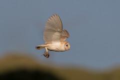 Barn Owl (Simon Stobart - Back But Way Behind) Tags: barn owl tyto alba flying prey north east england uk ngc npc naturethroughthelens