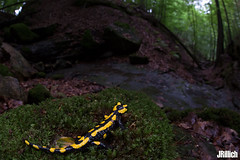 Fire salamander, Salamandra salamandra @ Thüringen 2018 (Jan Rillich) Tags: fisheye sigma15mm fun sigmafisheyedg15mmf28 sigma15mmf28 exdgdiagonalfisheye wideangle weitwinkel funny jan rillich janrillich picture photo photography foto fotografie eos digital wildlife animal nature beautiful beauty sunny sun fauna flora free animalphotography feuersalamander firesalamander amphibians salamander yellowspots salamandrasalamandra salamandra thüringen sommer canon 5d mark iii 5dmarkiii macro makro
