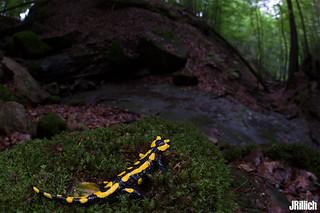 Fire salamander, Salamandra salamandra @ Thüringen 2018