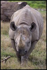 Head On (KRIV Photos) Tags: blackrhinoceros rhinoceros uk yorkshirewildlifepark animal