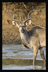 2018 02 02_Kudu-2 (Jonnersace) Tags: africa africanmammals kudu krugernationalpark koedoe tragelaphusstrepsiceros mammal animal herbivore antelope southafrica wildwingssafaris wild nature water horns bull canon canon7dii canon100400ii