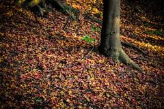 一様落ちて天下の秋を知る (edson.ac) Tags: fall autumn japan leaves jp kyoto kyōtofu forest tree
