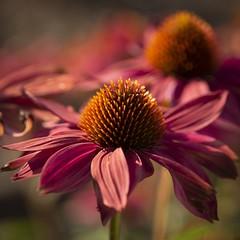 Shining in the evening sun (Martin Bärtges) Tags: sunset sunshine sun makrofotografie makro macrophotography macro nikon colorful farbenfroh blumen blüten pflanzen plants flowers