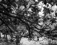 Hyons Wood (Jonathan Carr) Tags: hyonswood walkertitansf ancientwoodland monochrome blackwhite largeformat 4x5 leaves fp4 hc110