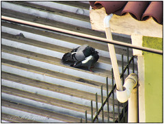 IMG_2404_edit (cnajhar) Tags: aves birds pigeons pombas