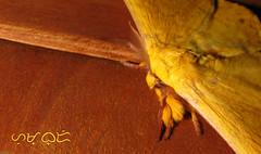 Eupterote sp. (A. K. Hombre) Tags: eupterote moth macro lepidoptera animal insect fauna canon powershotsx530hs hair antennae yellow monkeymoth eupterotidae wood minibeast arthropod