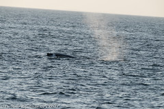 AHK_7682 (ah_kopelman) Tags: scylla2016calf 2018 cresli creslivikingfleetwhalewatch megapteranovaeangliae montaukny vikingfleet vikingstarship humpbackwhale whalewatch