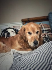 8/12 Edgar & Albert, my snuggle bugs (Jutta Bauer) Tags: bed snuggle friends brothers together dogs edgaralbert 12monthsforedgarandalbert 12monthsfordogs
