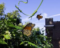 MonarchButterfly_SAF5310 (sara97) Tags: danausplexippus butterfly copyright©2018saraannefinke endangered insect milkweedbutterfly missouri monarch monarchbutterfly photobysaraannefinke pollinator saintlouis
