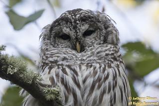 Barred Owl (7742)