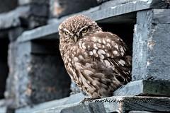 Little Owl (vampiremoi) Tags: little owl sheppey nature nikon d500 tamron g2 150600 september 2018 06 moihicksphotography thursday