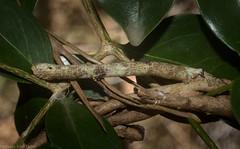 geometrid caterpillar (dustaway) Tags: arthropoda insecta lepidoptera geometridae caterpillar australianmoths australianinsects lismorerainforestbotanicgardens monaltrie northernrivers nsw nature australia camouflage crypsis