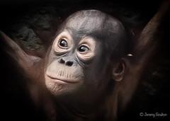 Baby Orang (JKmedia) Tags: chesterzoo primates animals captive 2018 sonyrx10iii baby orangutan