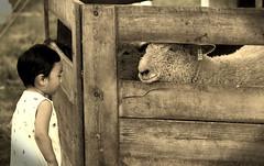 Family Fun, Kline Creek Farm. (EOS) (Mega-Magpie) Tags: canon eos 60d outdoors kline creek farm west chicago dupage il illinois kid sheep animal wood fence sepia