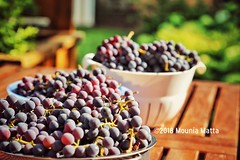 August Harvest (Mad Mou) Tags: outdoor red green colors colour harvest summer vine grapes