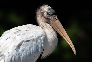 Wood Stork, Orange County, FL