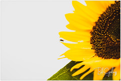 Take off in 5 seconds (Bob Geilings) Tags: fly sunflower flower macro yellow closeup