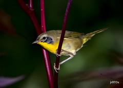 Common Yellowthroat (jt893x) Tags: 150600mm bird breeding commonyellowthroat d500 geothlypistrichas jt893x male nikon nikond500 sigma sigma150600mmf563dgoshsms songbird warbler yellowthroat thesunshinegroup alittlebeauty coth coth5 sunrays5 ngc
