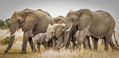 Moving on across the Mara (frankmetcalf) Tags: elephants maasaimara kenya eastafrica baby juvenile immature youngster matriarch entimcamp davidlloyd photography migration