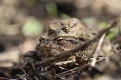 Common Toads (nikodemmatuszkiewicz) Tags: wildlife wild wildlifephotography wildlifebeauty wildanimals animals animalphotography animalplanet nature noncaptive naturespectacle rare amphibians toads toad commontoad