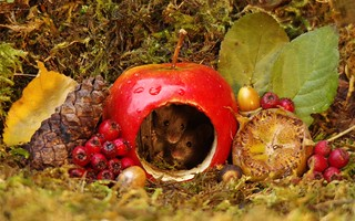 Mouse inside a apple autumn display (2)
