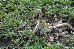 Squacco heron (Ardeola ralloides) (Sky and Yak) Tags: squacco heron ardeola ralloides