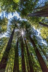 Ave Of The giants (mephistofales) Tags: redwoods aveofthegiants oldgrowth northerncalifornia roadtrip