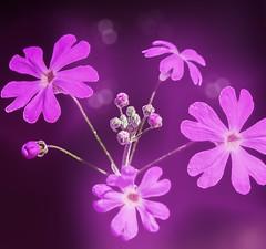 (M J Adamson) Tags: plants flowers daisy pink spring nz newzealand