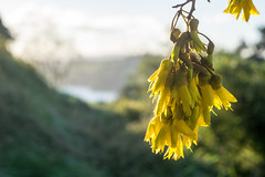 Spring kowhai (Titine) Tags: leaf flora tree kowhai flower yellow landscape depth field wenderholmregionalpark spring