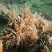 Striped anglerfish Antennarius striatus