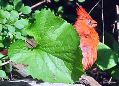 DSC_0607 (RachidH) Tags: birds oiseaux snow cardinal redbird northerncardinal cardinaliscardinalis cardinalrouge sparta nj rachidh nature