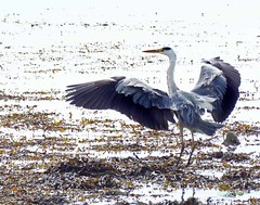 Largs Heron1 (g crawford) Tags: ayrshire northayrshirecrawford crawford bird birds heron greyheron commongreyheron largs clyde riverclyde firthofclyde pod potd pictureoftheday herald glasgowherald 171