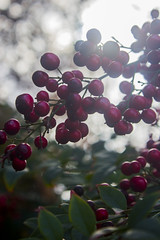 Berries (moniquekr429) Tags: canon green berries red photography t3i nature garden