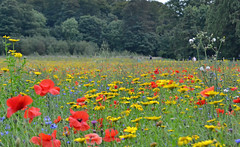 Wildflower meadow at Mount Stewart (conall..) Tags: mount stewart strangfordlough greyabbey nationaltrust mountstewart countydown wildflower meadow field